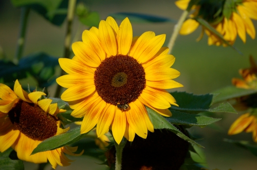 Sunflower at Persimmon Creek